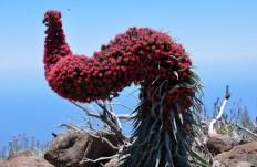Rojaus paukštės žiedas (Tajinaste Rojo)